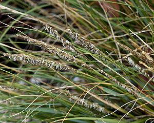 Spartina or cordgrass.