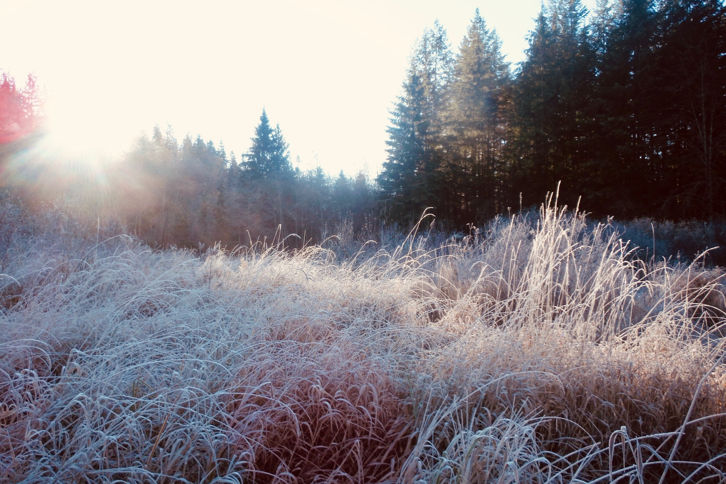 Frosty Reed Canary Grass