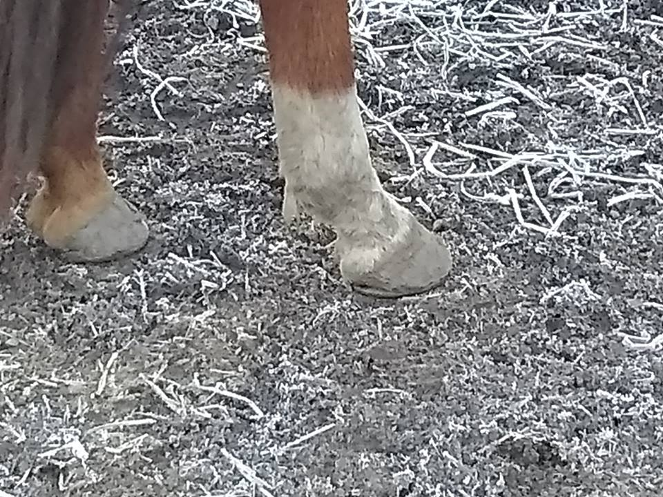 Salsa the Horse hooves on frozen ground in Monroe.