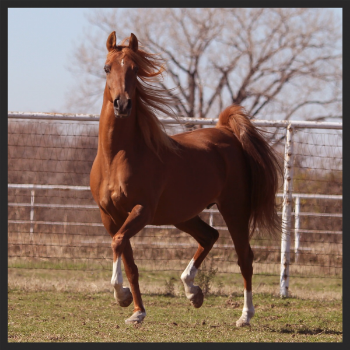 Rockette Of Fhire (Prince Of Fhire x Tosk Rockette)
