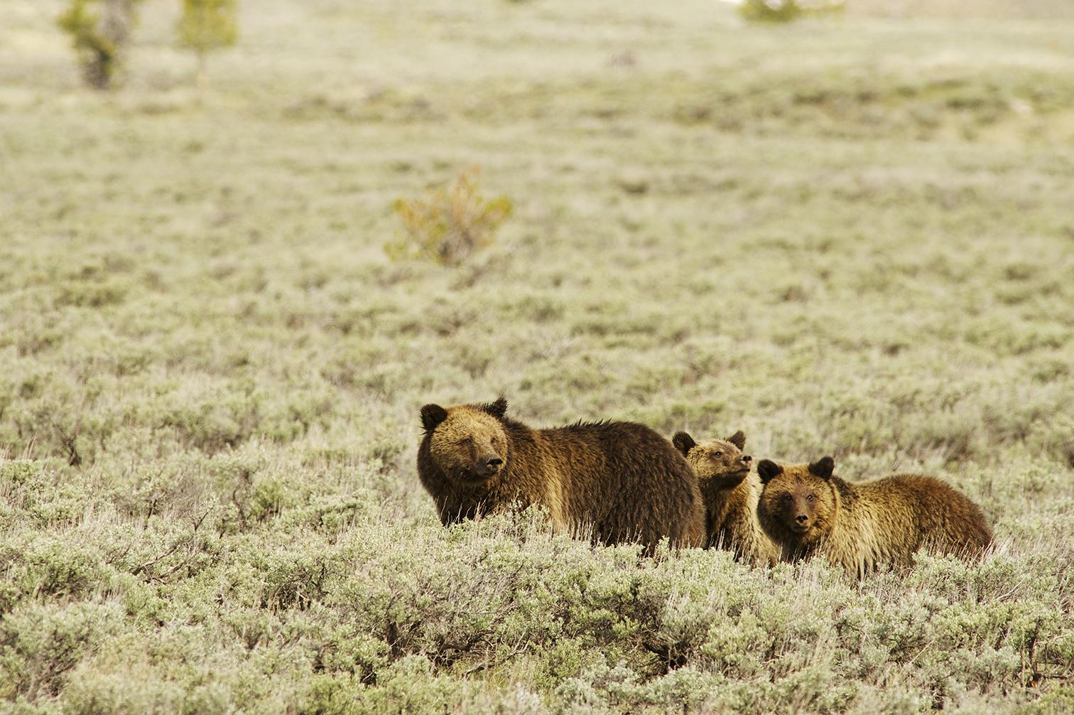 grizzInSage_YNP-xl.jpg