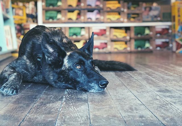shelby is our new shop (and home) dog! she is a 4 year old dutch shepherd & is very very sweet. make sure to say hi when you come to visit - she loves the attention 😍