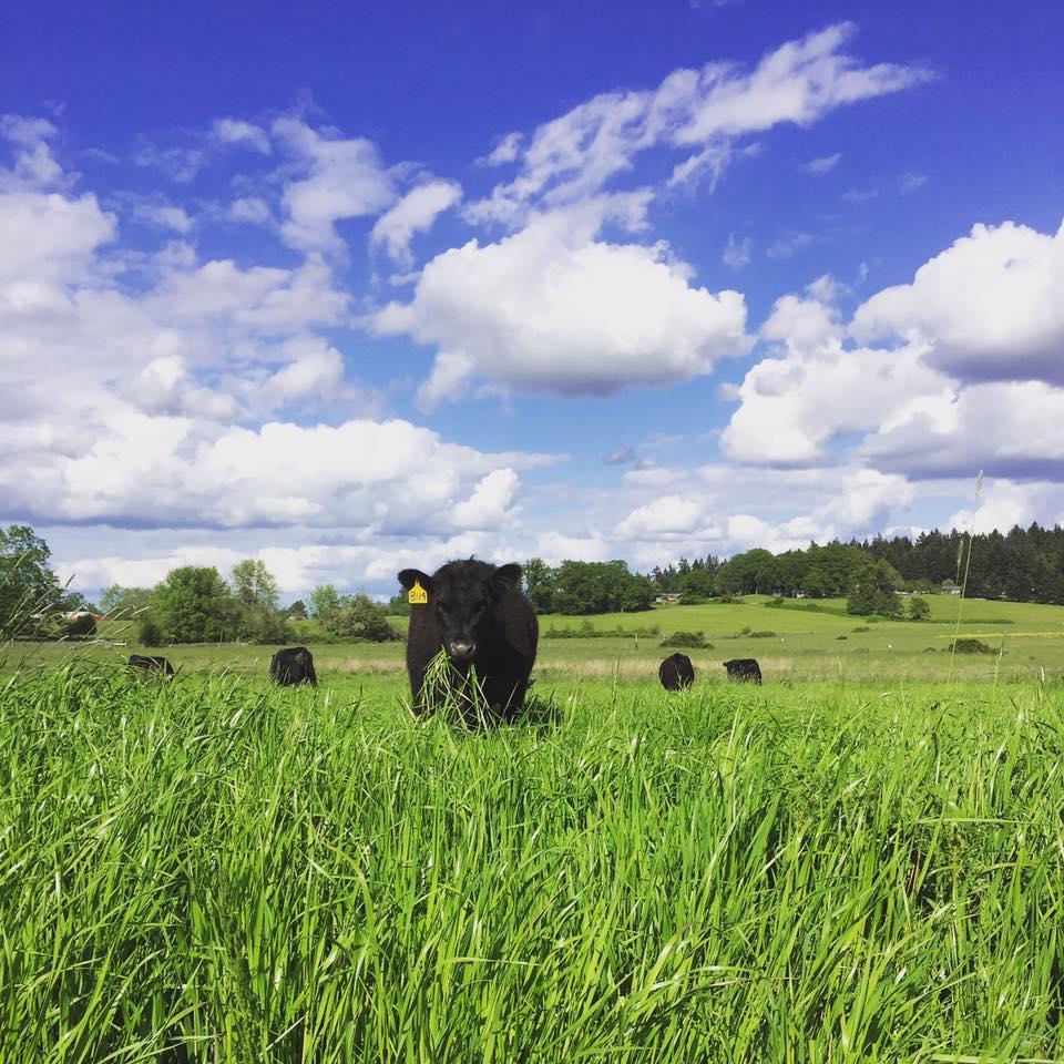 black angus cows enjoying the spring grass