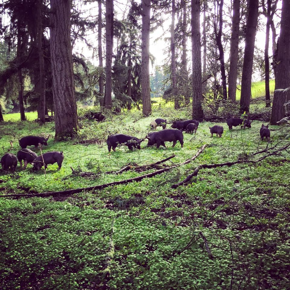 berkshire pigs rooting in the woods