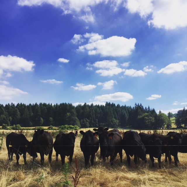The cows watching me set up their next paddock - they know the drill!