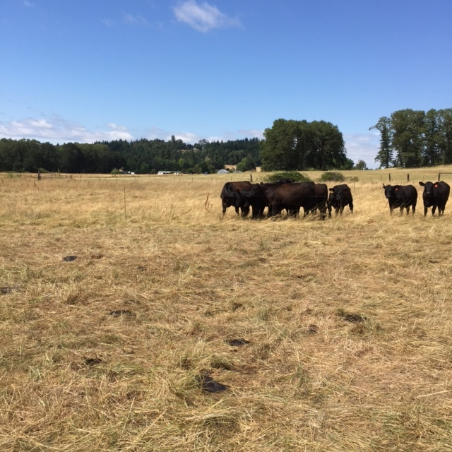 """An """"after"""" shot. After one day, they've eaten and trampled the grass and fertilized the pasture with their manure."""