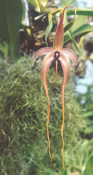 Bulbophyllum echinolabium