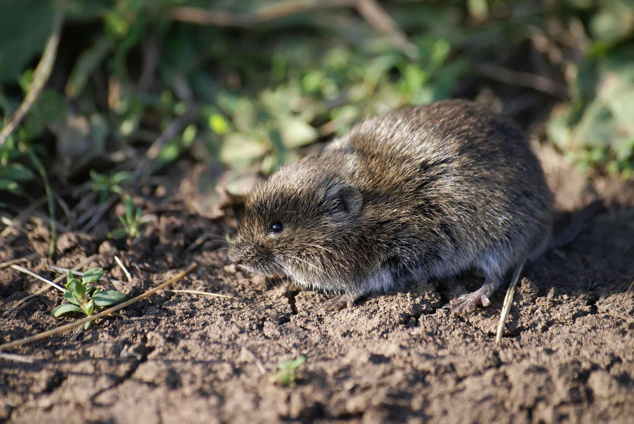 Vole searching for food
