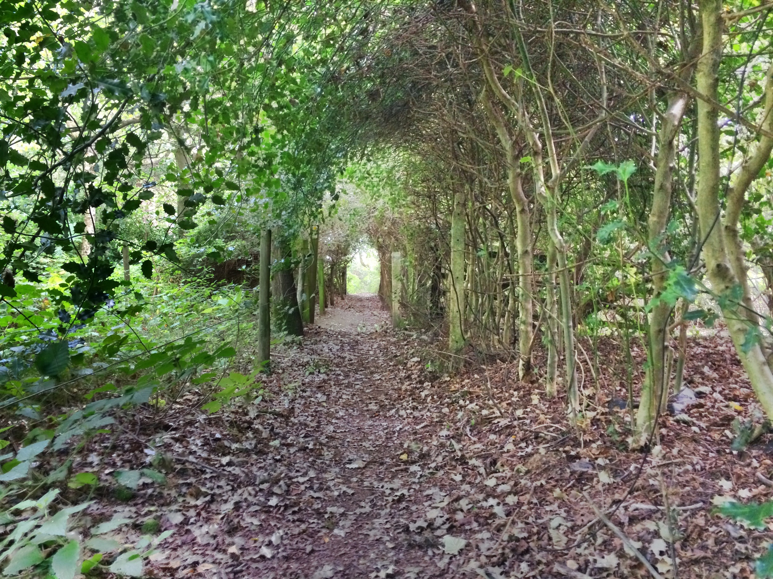 Tim found this beautiful holly tunnel on Boars Hill one day when he was exploring. The English countryside is filled with footpaths.