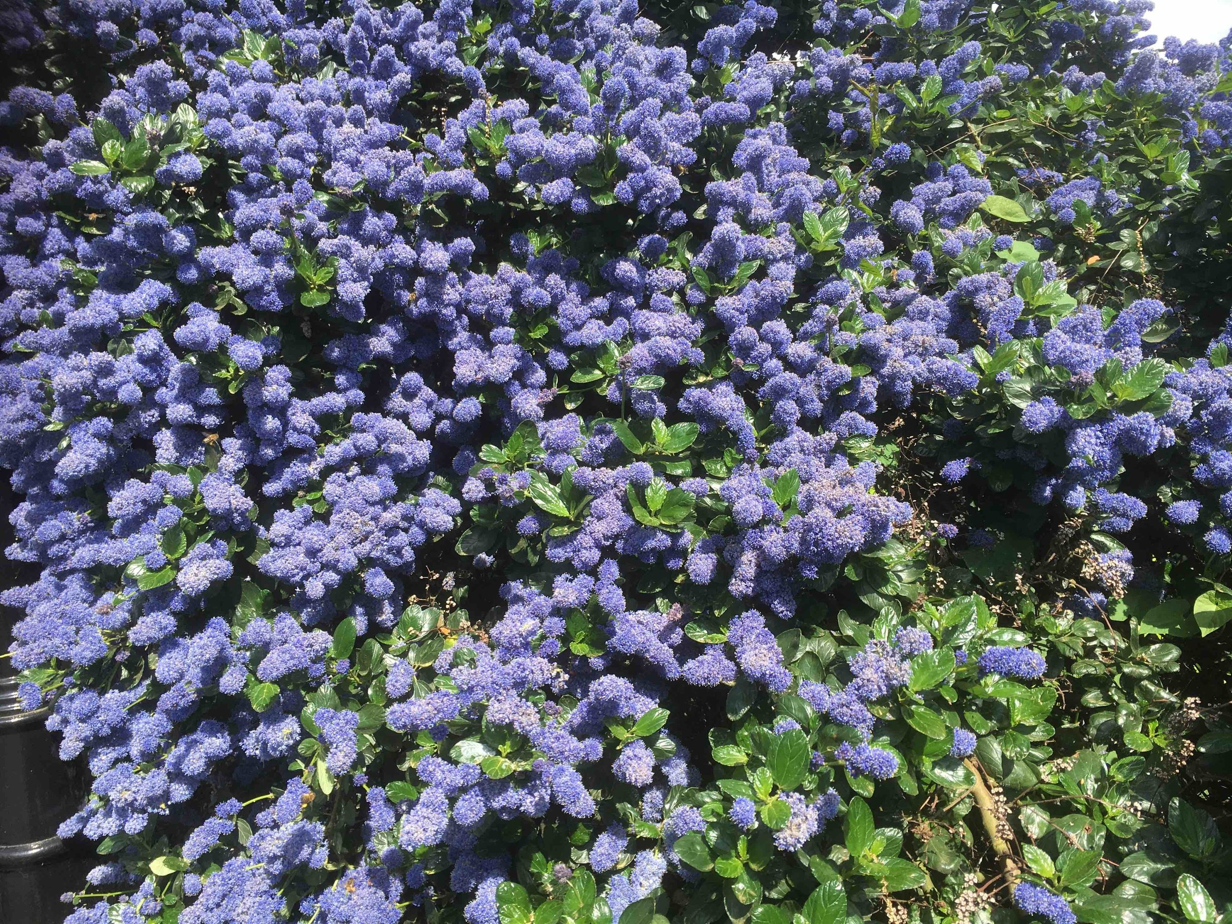 ceanothus_flower.jpg