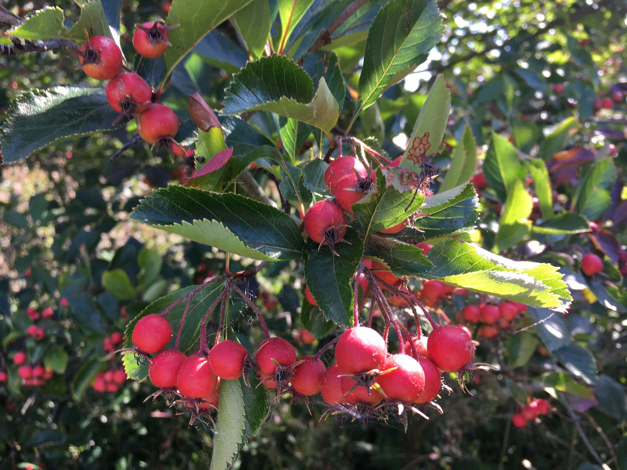 heath_berries.jpg