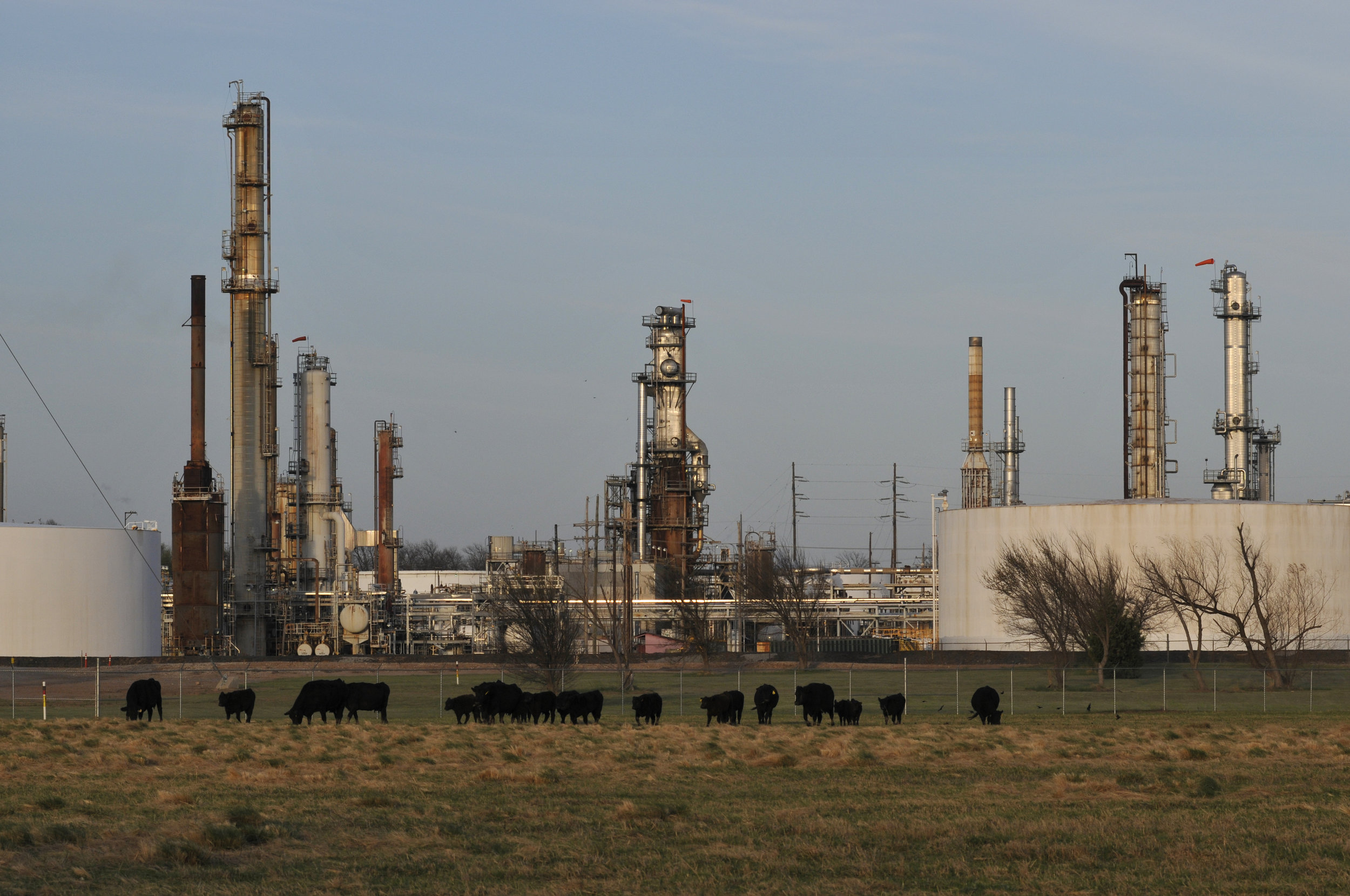 Cattle graze in front of the Wynnewood refinery in Wynnewood, Oklahoma. Nick Oxford for The New York Times