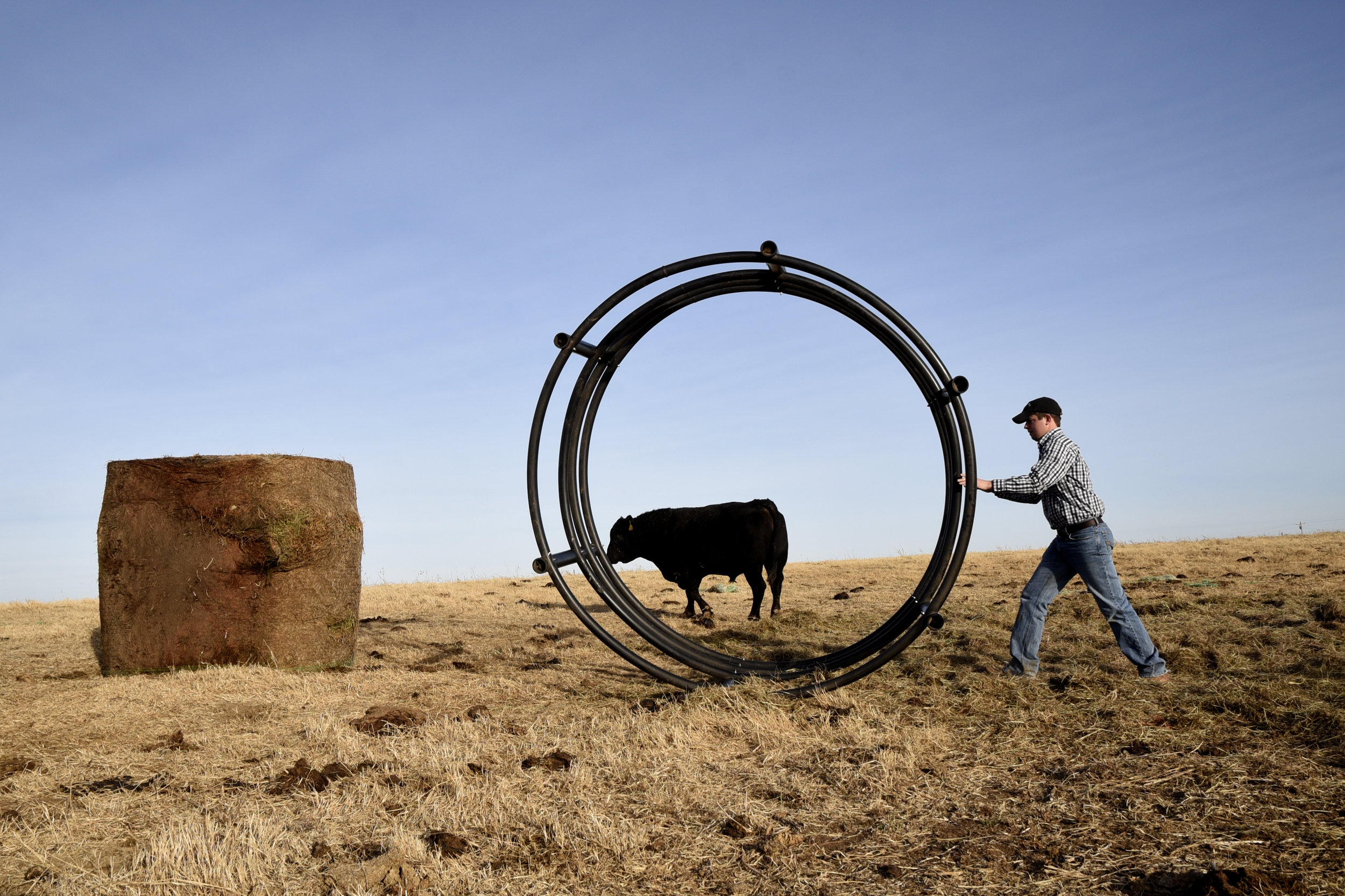 Tyler Schnaithman rolls a hay ring to prep a hay bale for some bulls on his farm in Garber, Oklahoma.