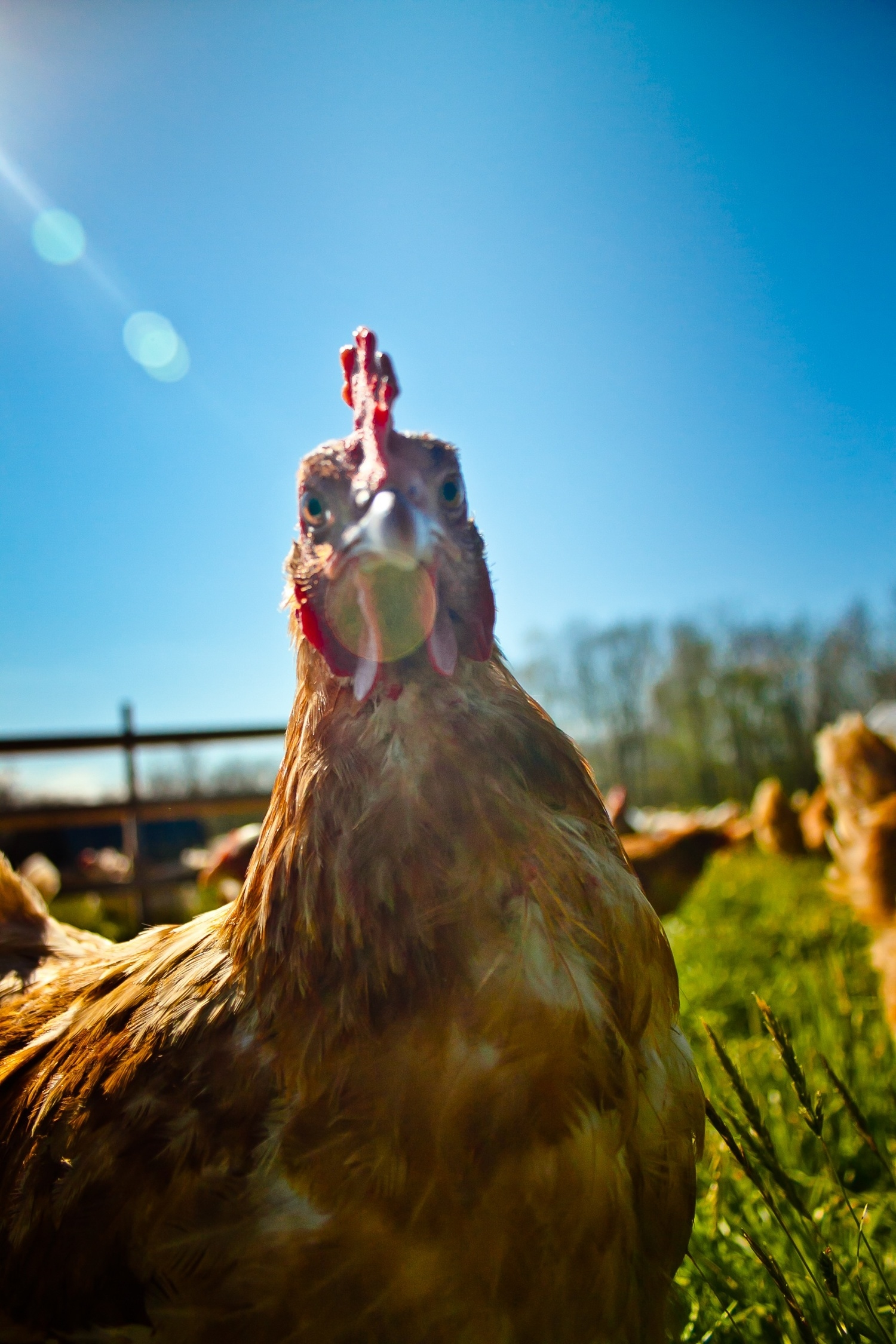 hen in light.jpg
