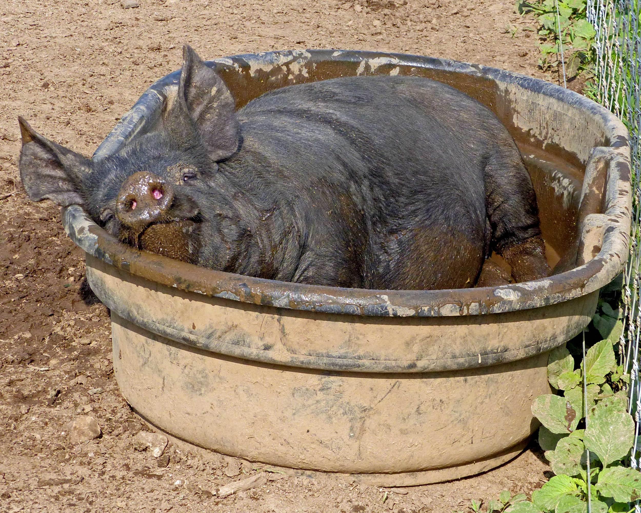 whole hog.jpg