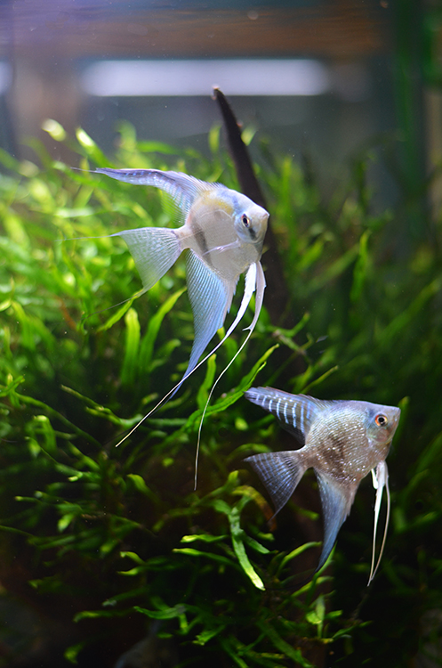 Aquiarm-Zen-Seattle-Fish-Store-Angelfish