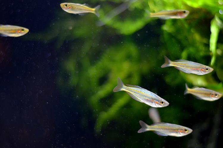 Aquarium-Zen-Seattle-Fish-Store-Rainbowfish-Aru II