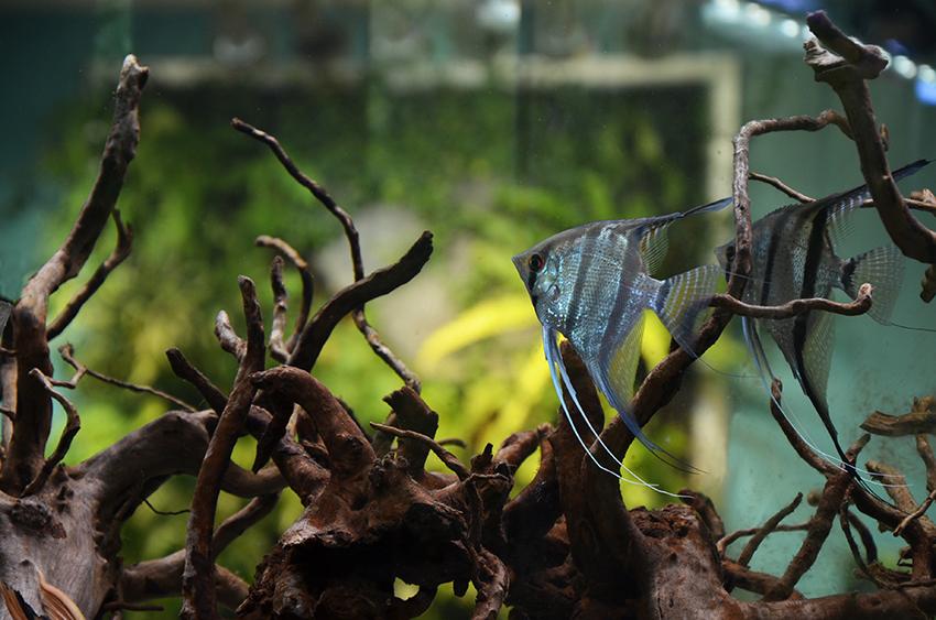 Aquarium-Zen-Seattle-Fish-Store-more-angelfish