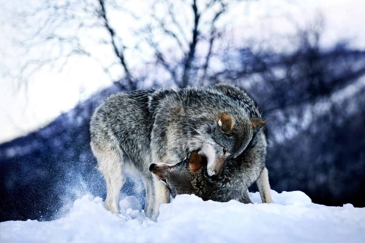 Yin Yang Winter Wolves by Kent Miklenda