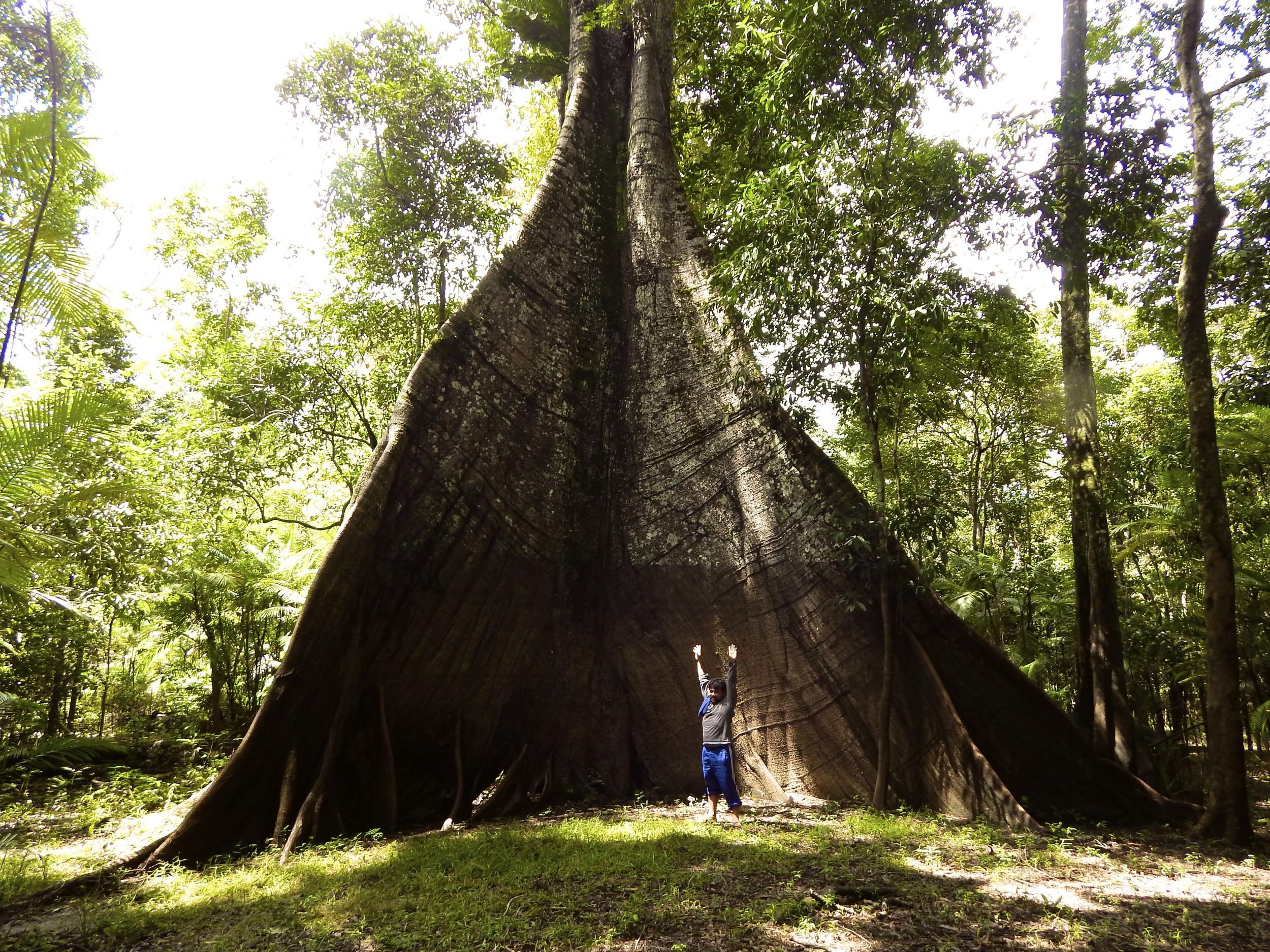 A giant Amazonian tree.jpg