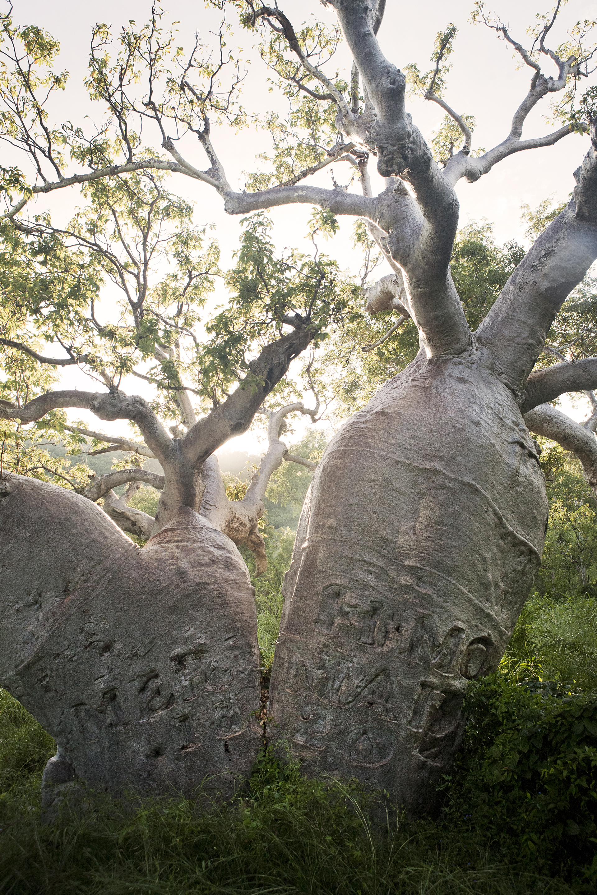 Adansonia Gregorii - or the Boab tree. In Australia these are endemic to the Kimberley.This one wasover 700 years old.