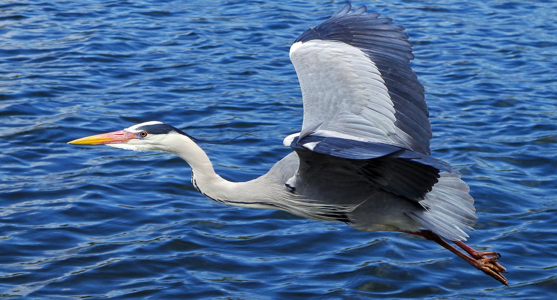 Heron, St. Augustine, music