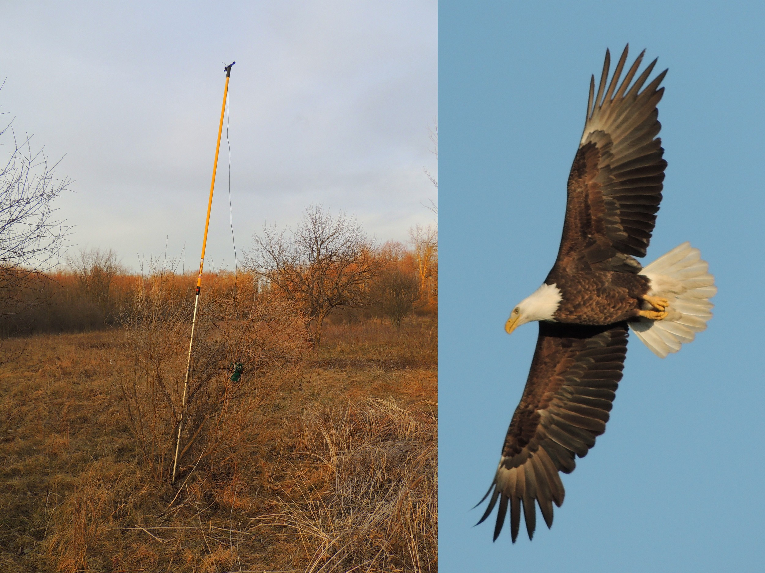 from left: Bat Passive Ultrasonic Recorder, Bald Eagle (Special Concern) in Flight