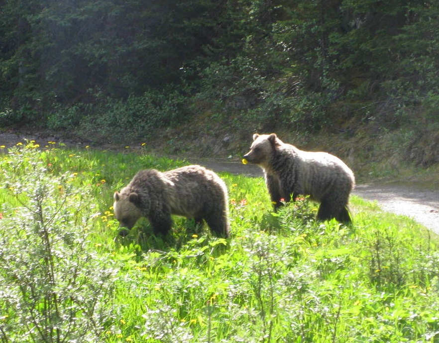 Griz Sow with cub snacking on fresh greens.