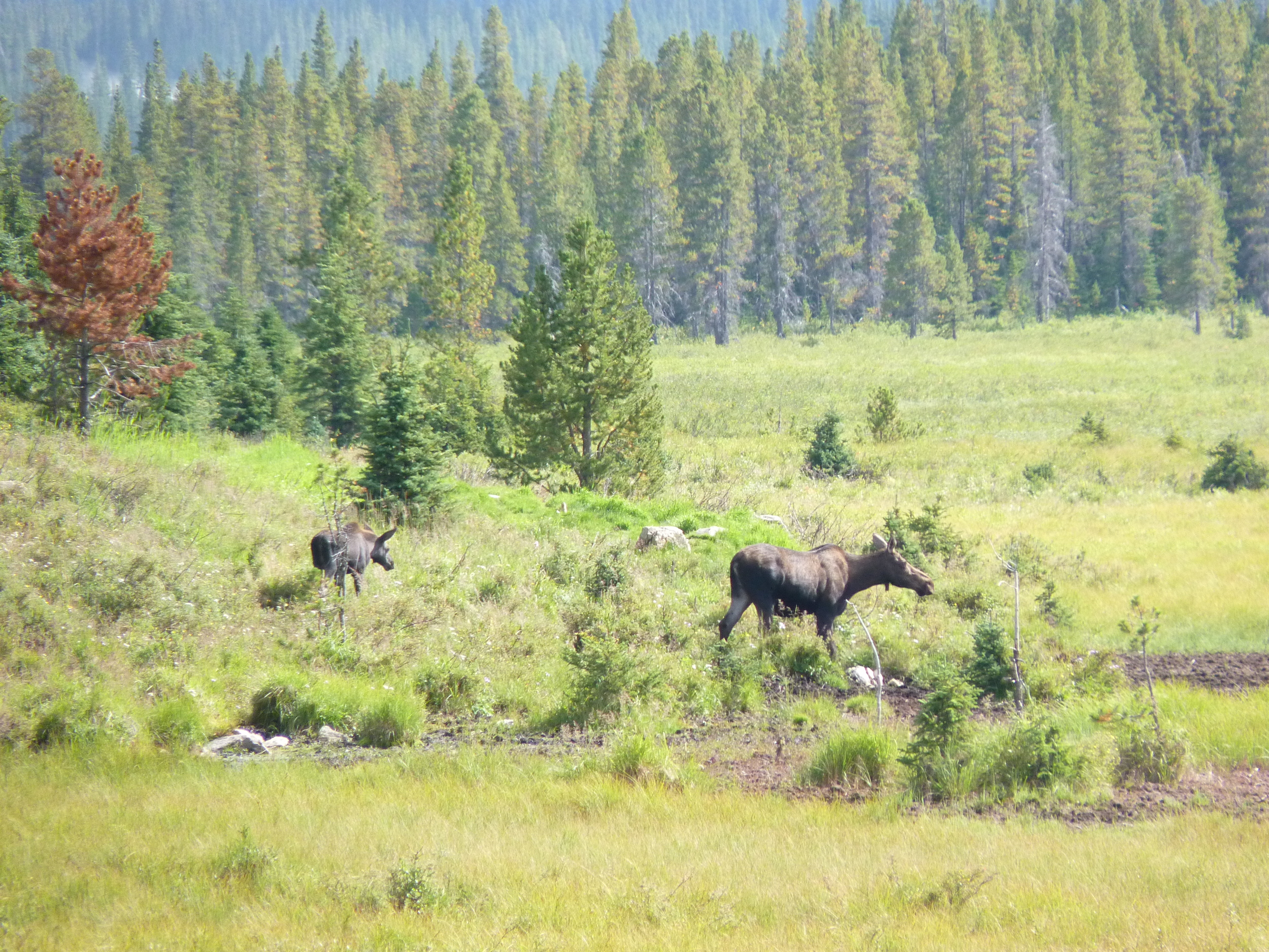 Moose, Kananaskis Country
