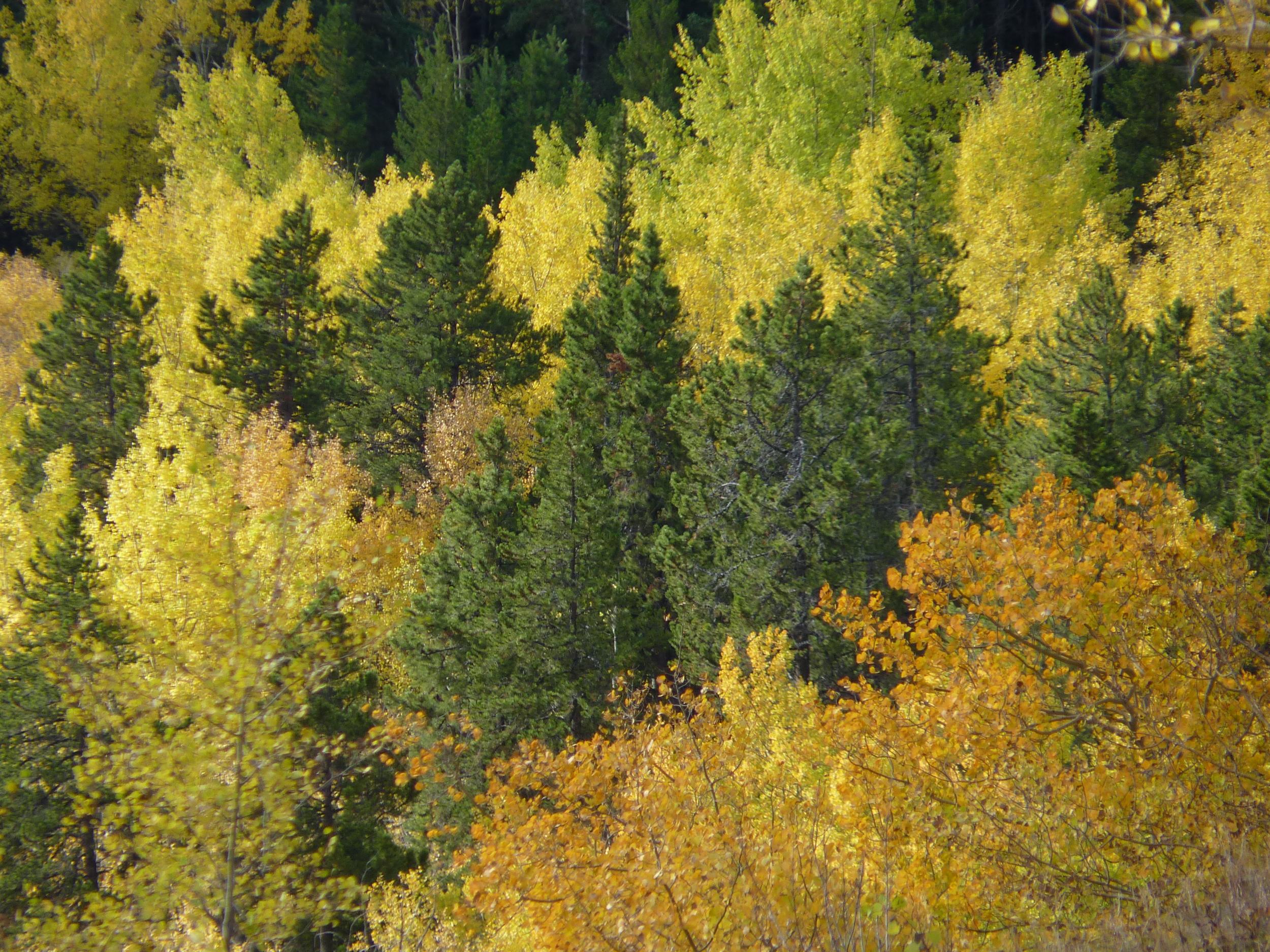 Fall Aspens, Cory Pass, Banff NP