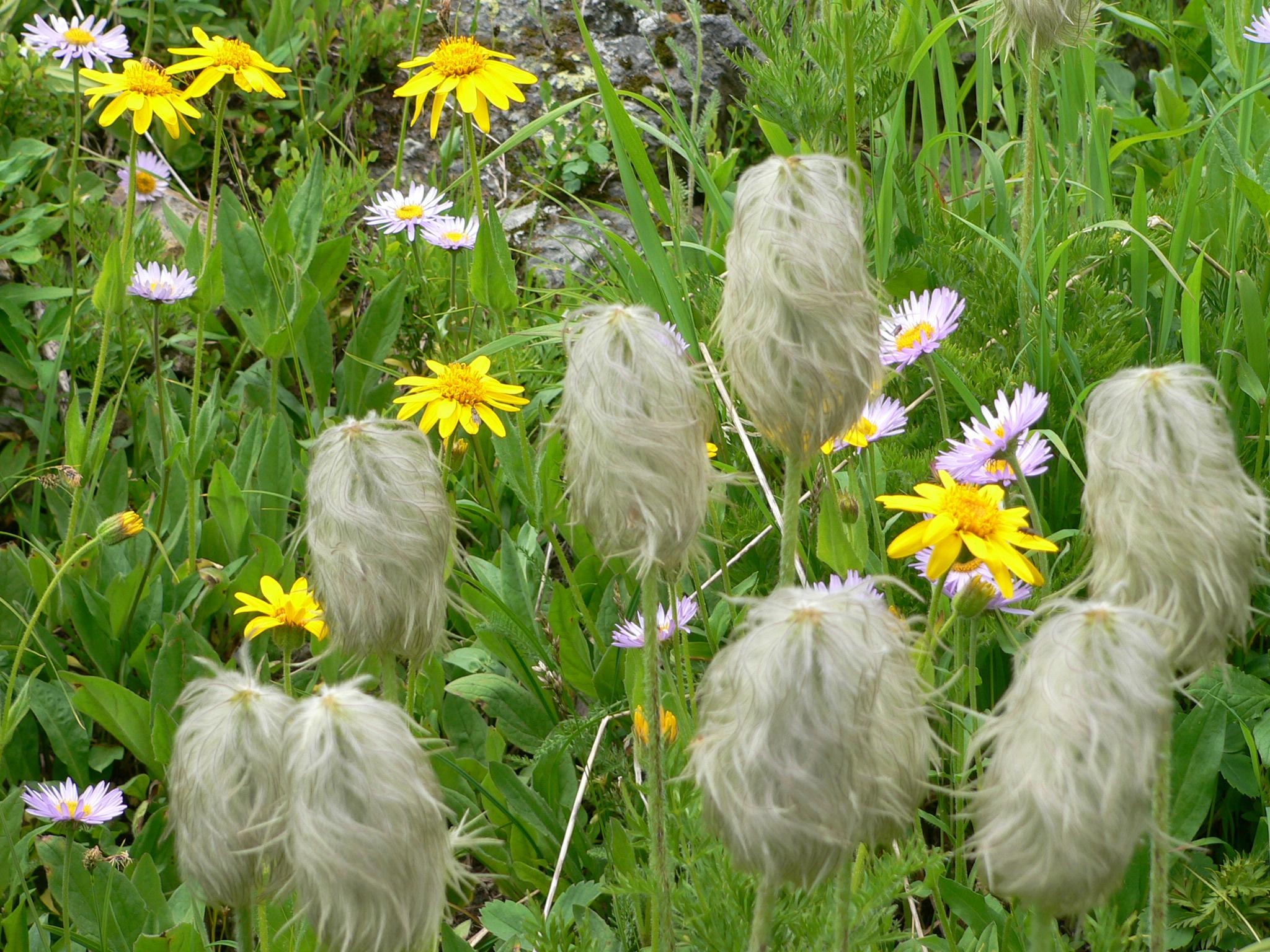 Wild flowers at Helen Lk, Banff NP