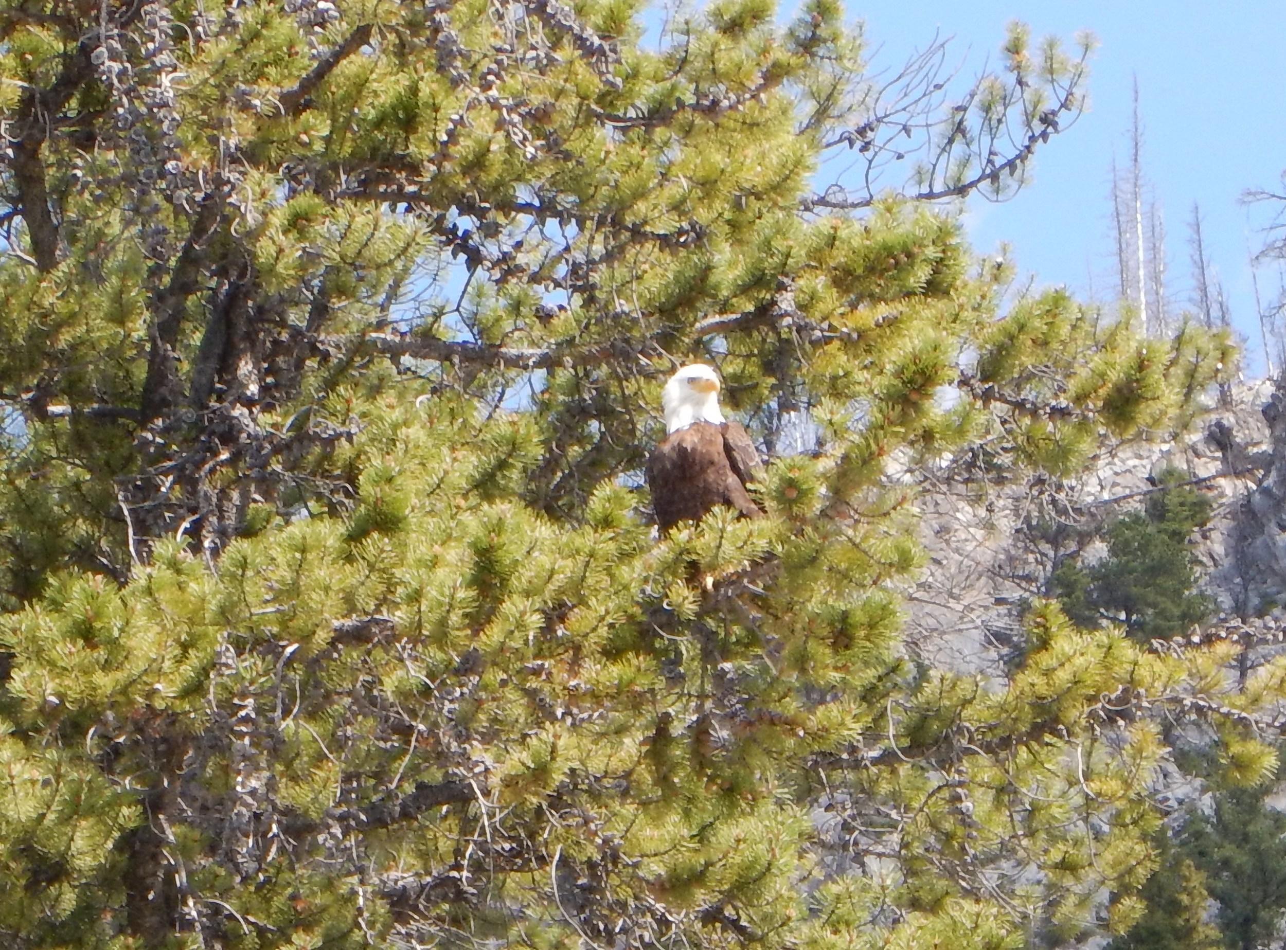 Bald Eagle - Minnewanka.jpg
