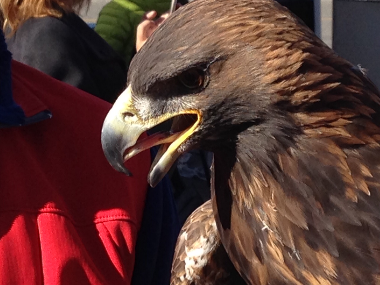 """Golden Eagle at """"Festival of the Eagles"""" (Canmore,AB)"""
