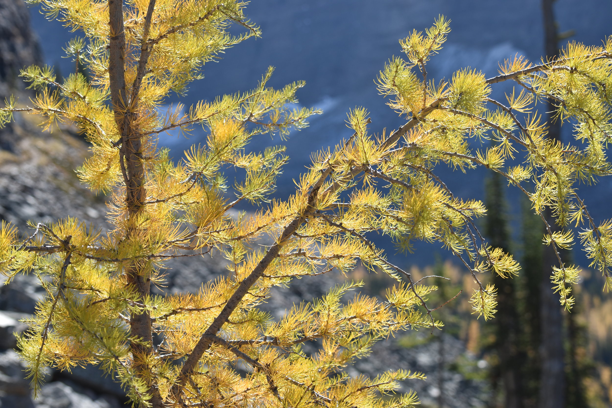 close up of the larch tree