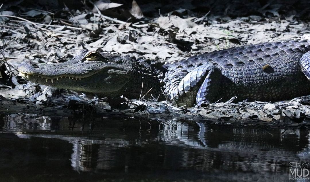 Submitted by:  stinky_mud_photography   Location:  Tangipahoa Parish   The American Alligator