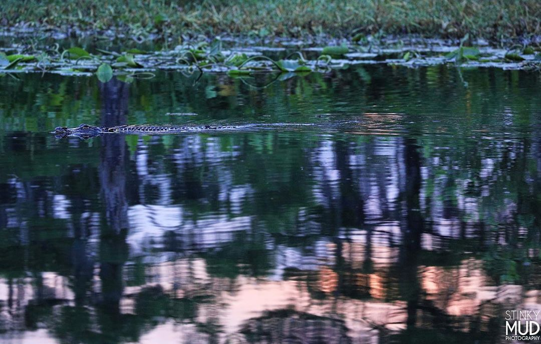 Submitted by:  stinky_mud_photography   Location:  Manchac, Louisiana   A gator enjoying the June citrus sunset.
