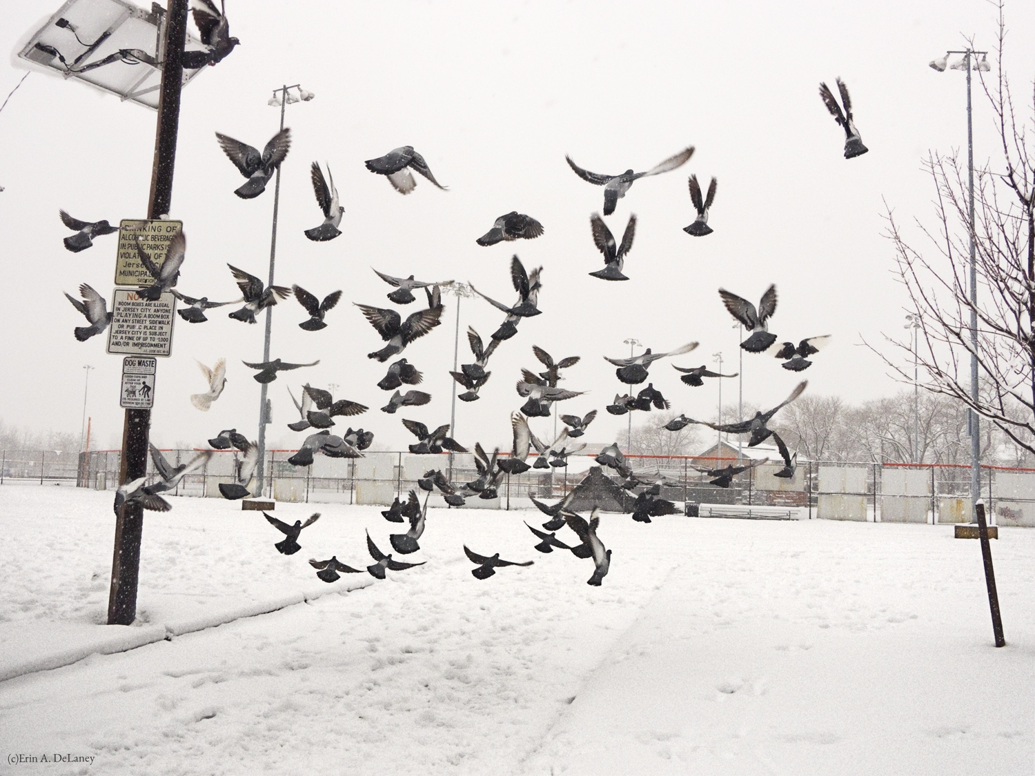 Pigeons in Flight on a Winter Day, 2013