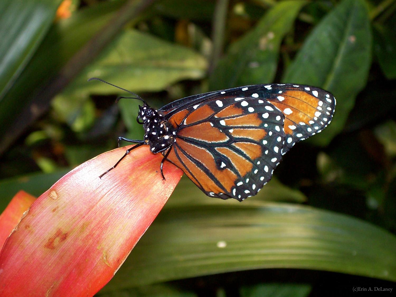 Queen Butterfly, 2007