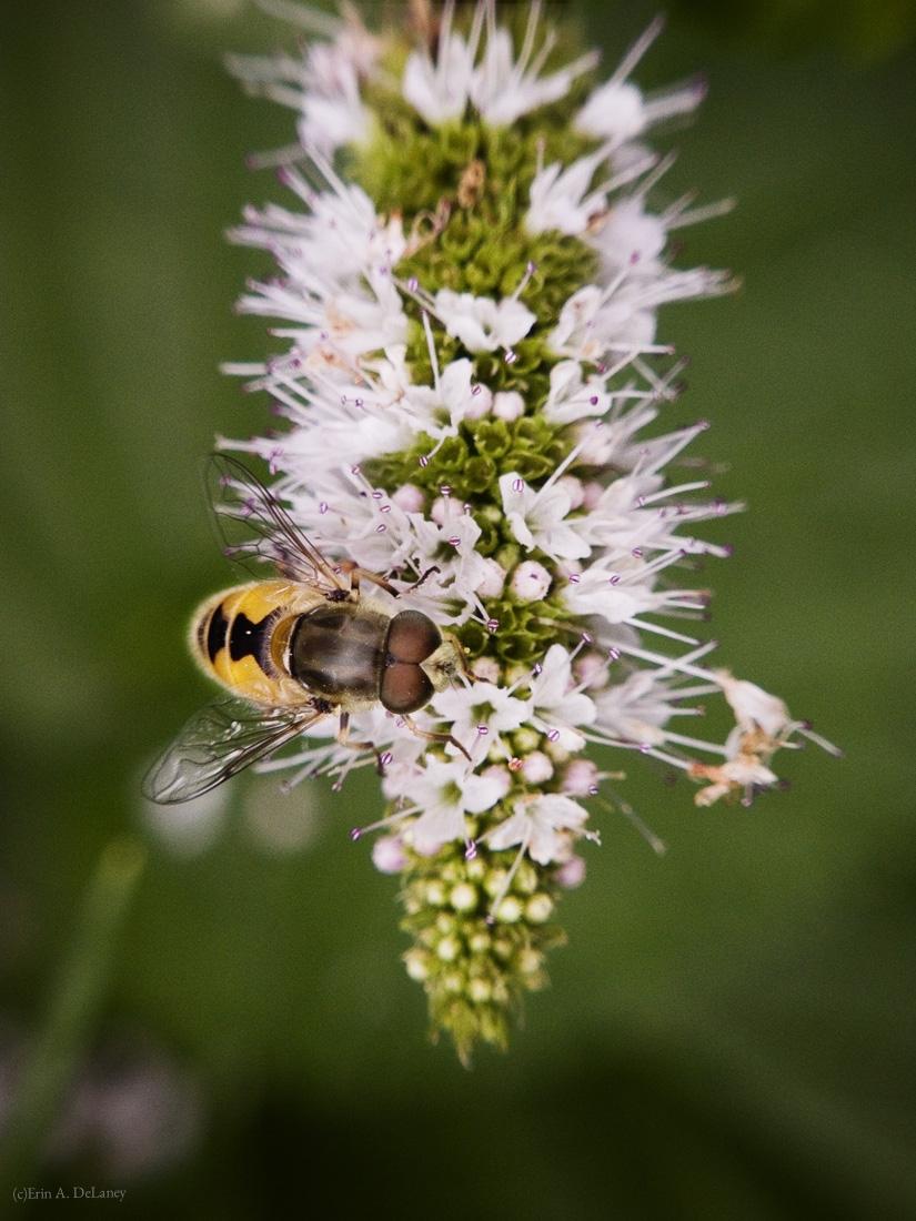Honeybee on Mint Flower, 2014