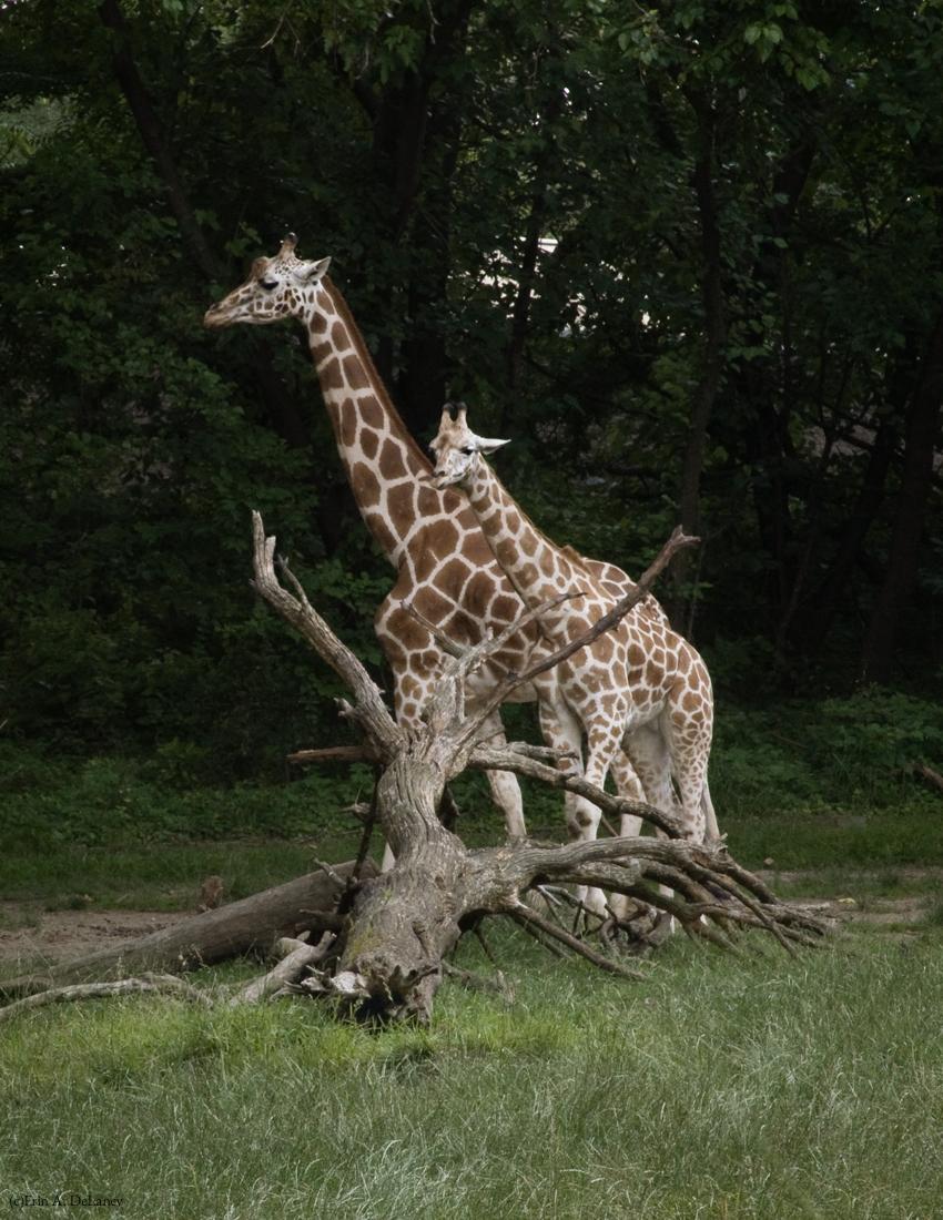 Giraffe Mother and Calf, 2012