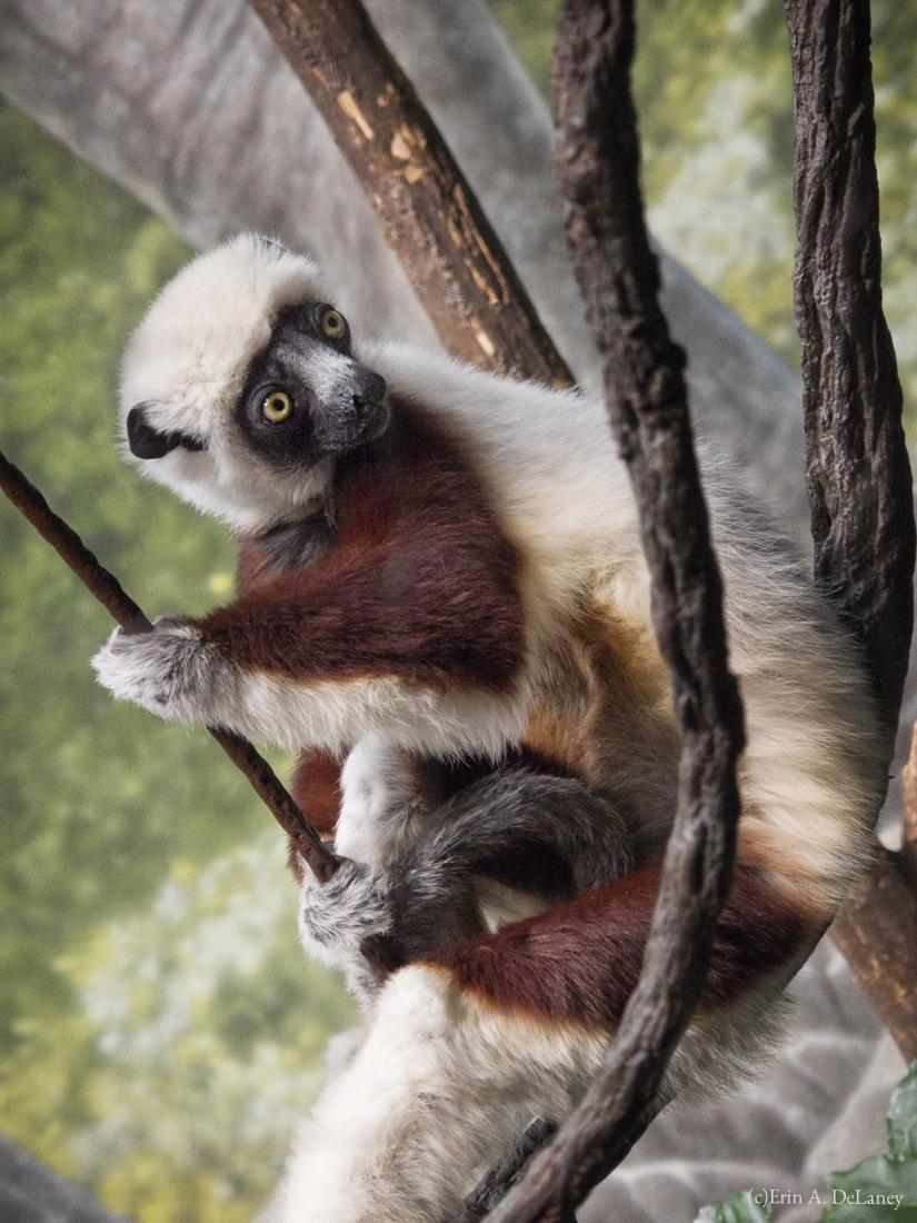 Coquerel's Sifaka Lemur Portrait, 2013