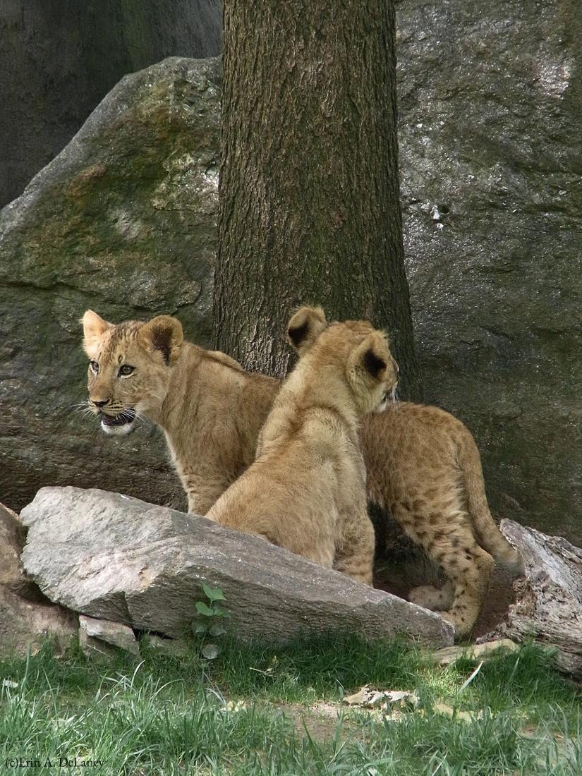 Lion Cubs Exploring, 2010