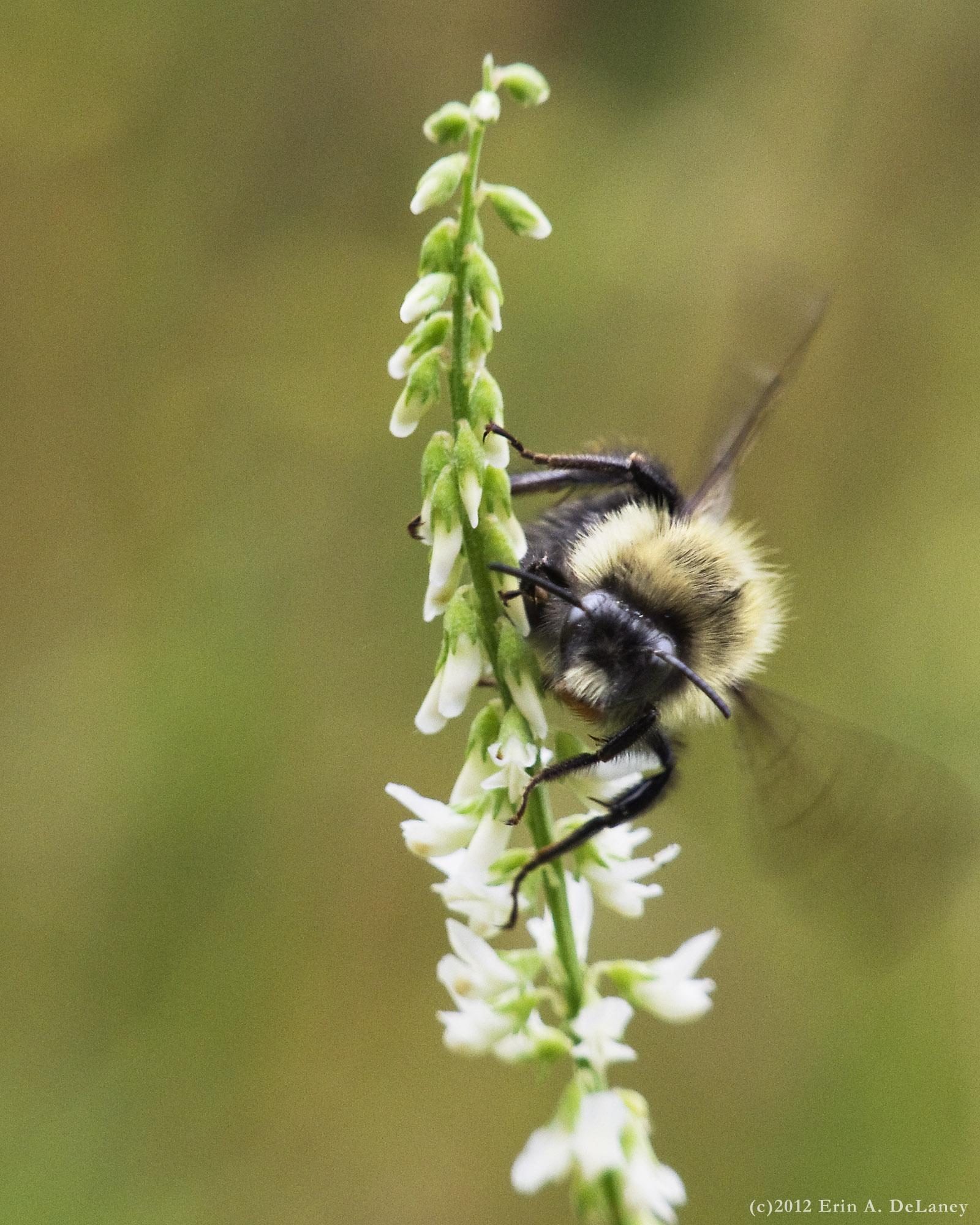 Honeybee on White Sweet Clover, 2012