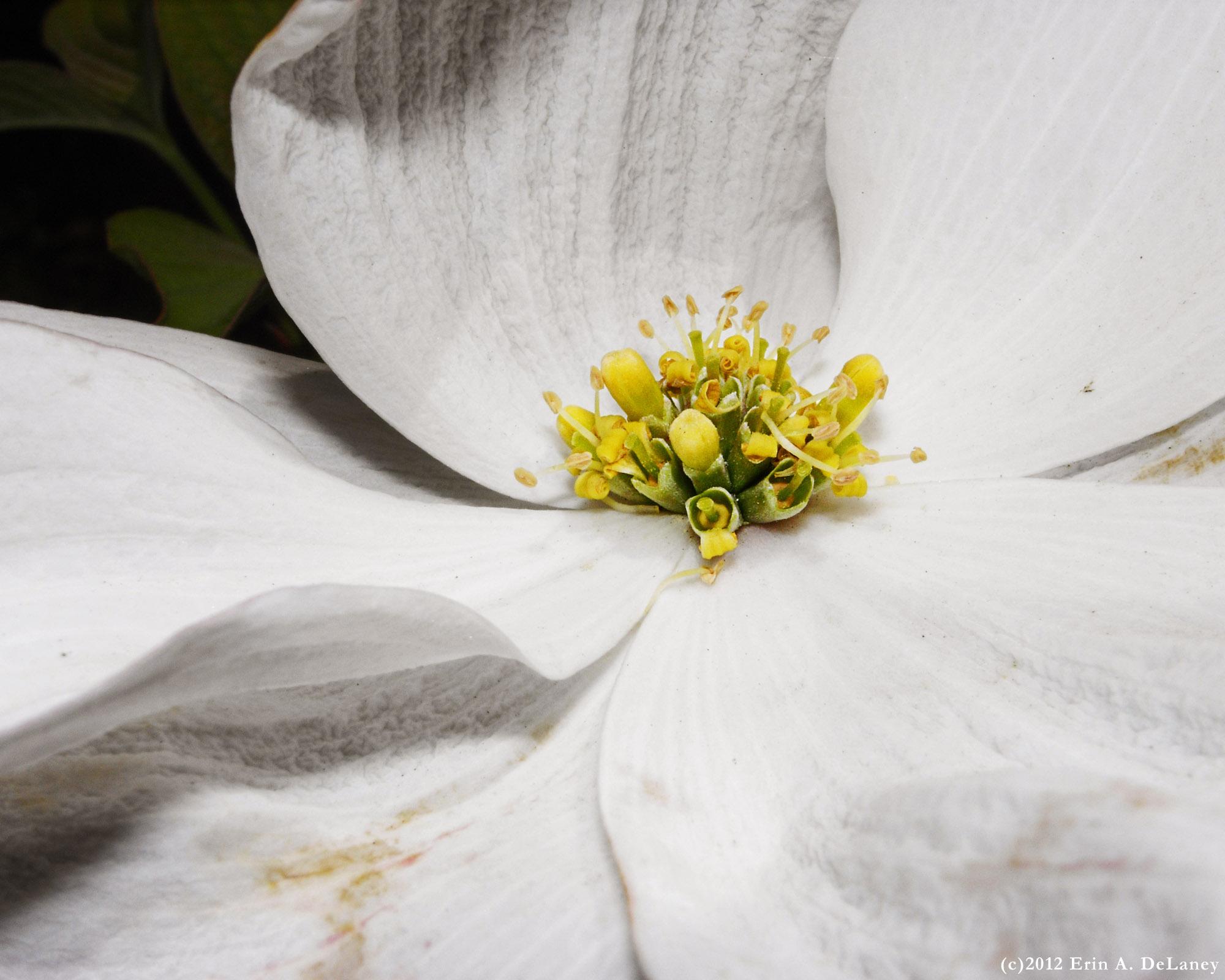 Dogwood Blossom, 2012