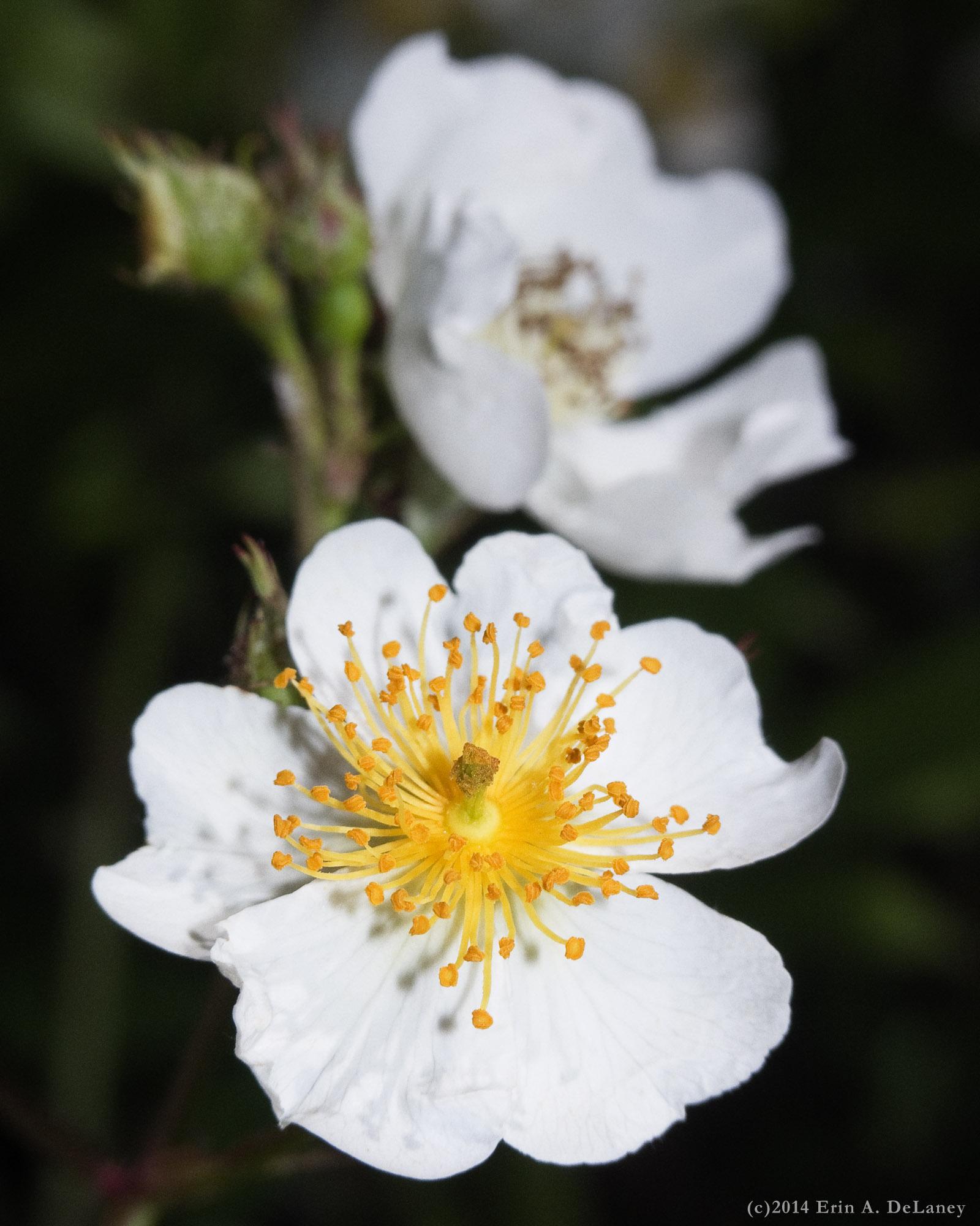 Raspberry Blossom, 2014