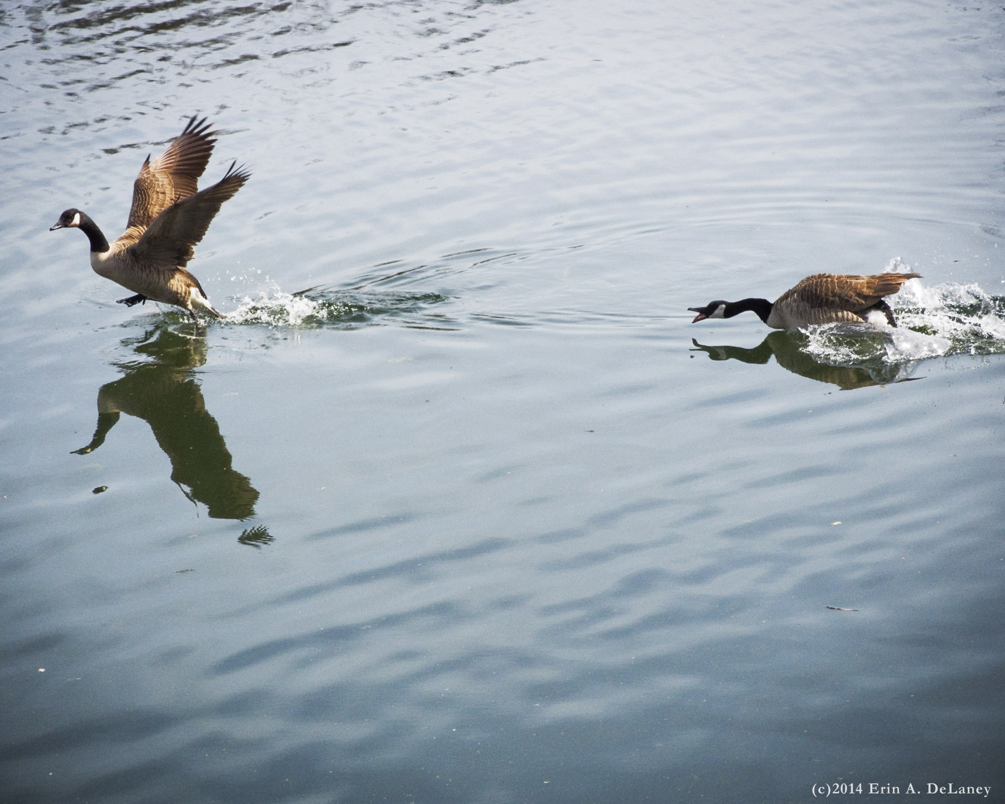 Wild Goose Chase, 2014