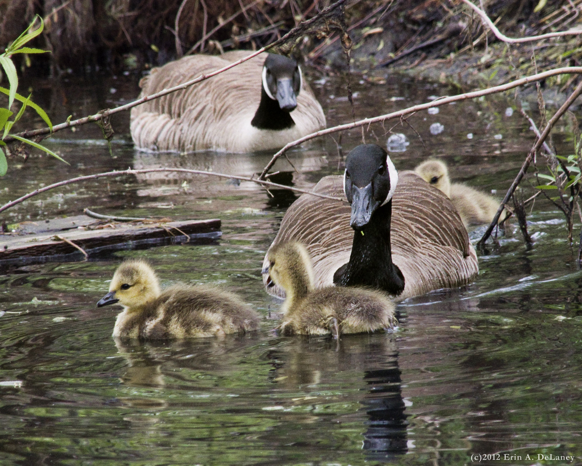 Geese and Goslings JC Reservoir, 2012