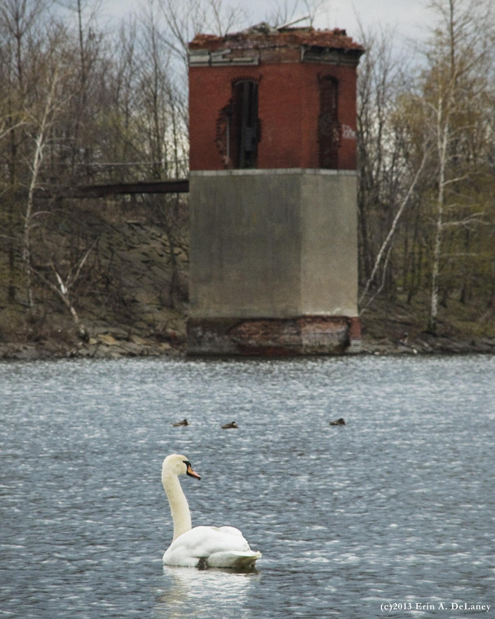 Swan and Screenhouse JC Reseroir, 2013