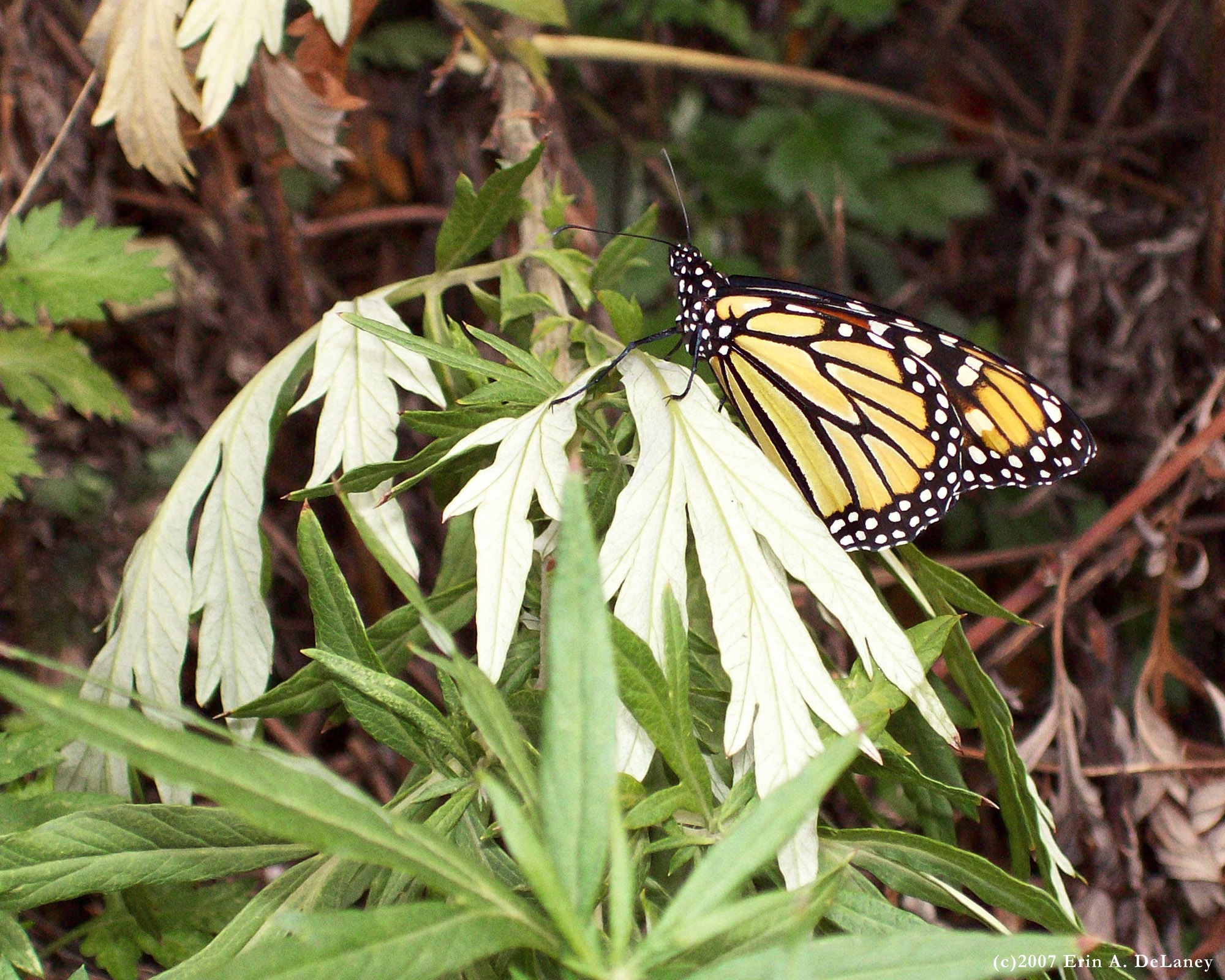 Monarch Resting on a Mugwort Branch, 2007