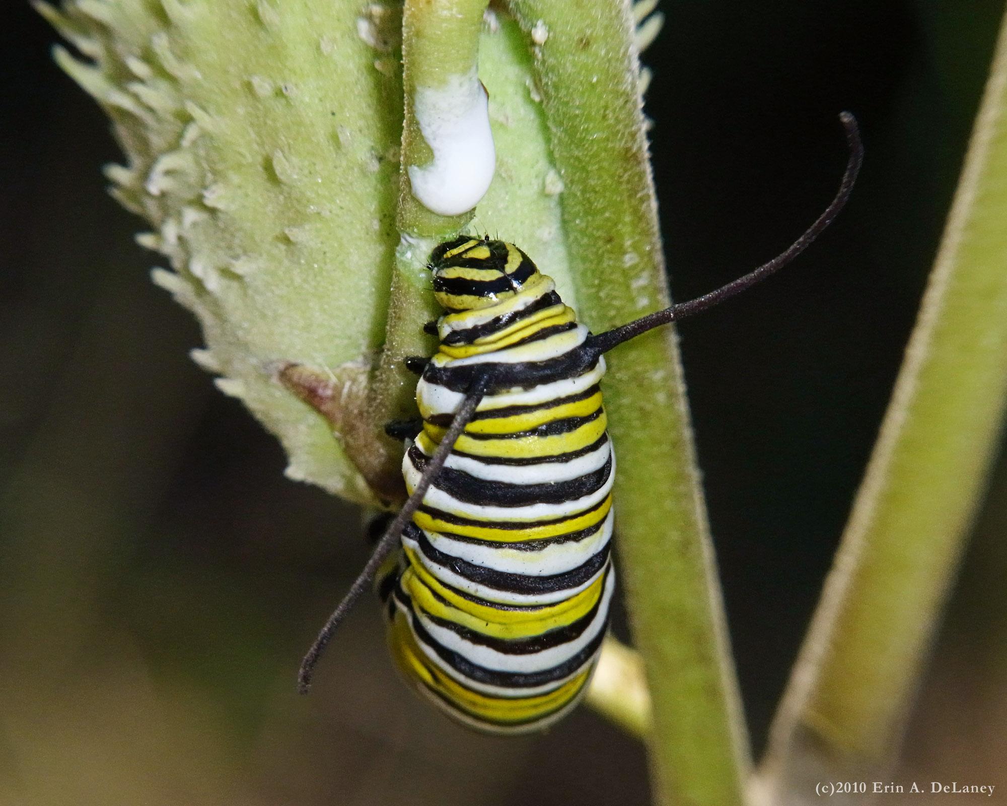 Monarch Caterpillar on Milkweed, 2010